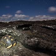 A radiated tortoise, Astrochelys radiata, hunkers down for the night under a rocky cliff. Radiated tortoises, originally from Madagascar, have been introduced to Round Island as an ecological replacement for the extinct Mauritian tortoises that used to graze on the island. Round Island also serves as a reservoir for the endangered species in case it is driven to extinction in its native Madagascar.