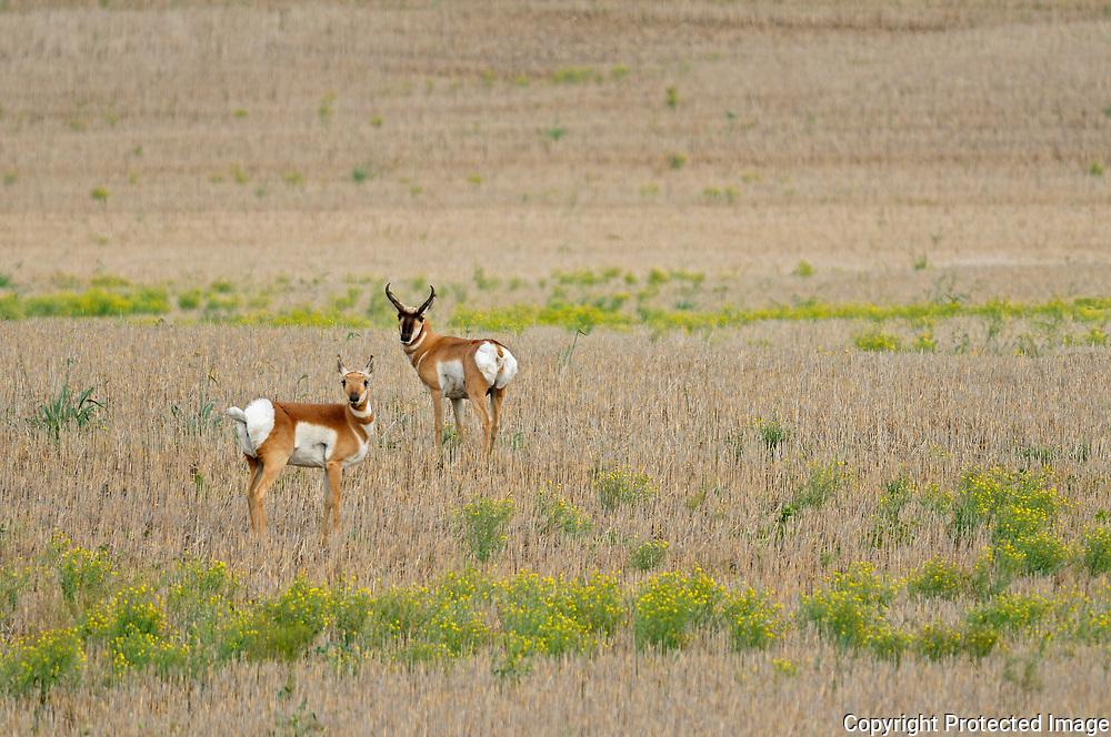 Pronghorn (Antilocapra americana) on the prairie<br />Hodgeville<br />Saskatchewan<br />Canada