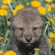 A young gray wolf (Canis lupus) pup in a field of dandelions, Montana. Captive Animal