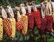 """Corn, or maize, is native to the Americas. Peru grows Andean cobs with especially large kernels. South America. Corn was originally the English term for any cereal crop. In North America, its meaning has been restricted since the 1800s to maize, as it was shortened from """"Indian corn"""". The term Indian corn now refers specifically to multi-colored """"field corn"""" (flint corn) cultivars."""