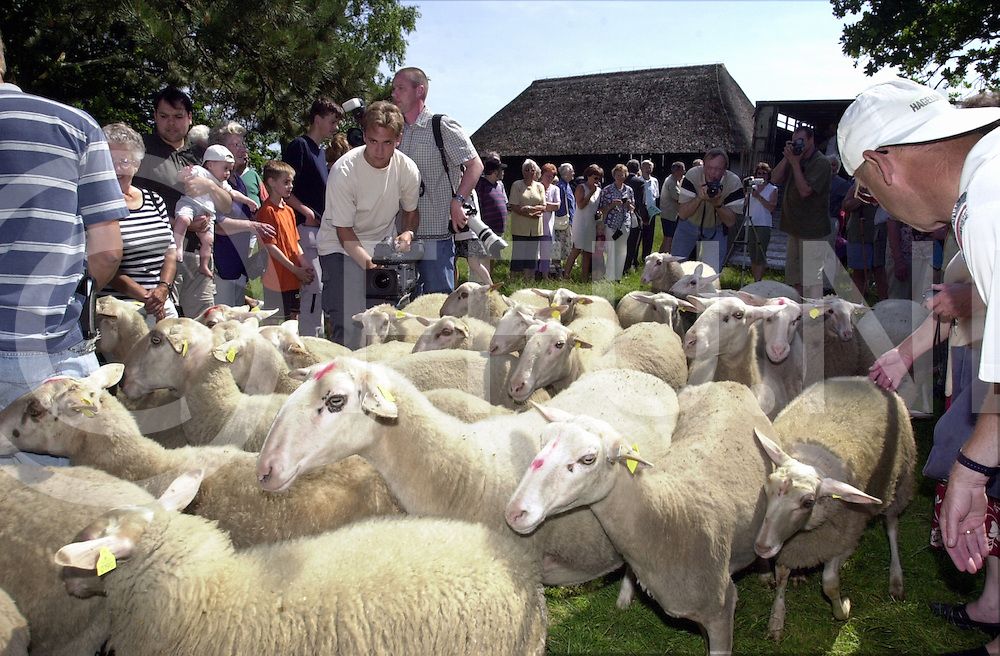 fotografie frank uijlenbroek©2001 michiel van de velde.010625 heerde ned.veluwse schapen terug  op de schaapskooi in heerde die getransporteerd werden vanaf de schaapskooi in lemele naar hun huidige woonplaats waar ze werden opgewacht door een grote groep mensen die die nieuwe schapen willen zien