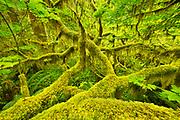 Hoh Rainforest, Olymic National Park.