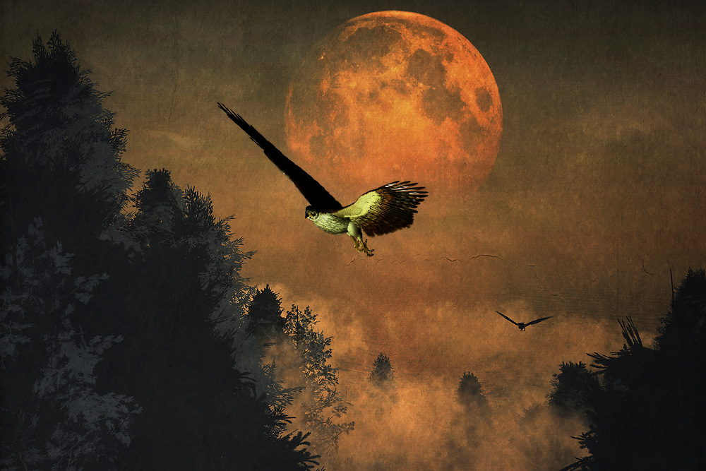 This dynamic, rich piece features the striking visual of falcons in their distinctive, powerful surroundings. A moon that is simply massive, almost too close for comfort, hangs over the evening sky. The falcons are profoundly dedicated to their purpose. They will not stop hunting until they have found what they are looking for. If you happen to be one of the animals preferred by falcons, it isn't hard to imagine the moon representing the heart. It is almost about to burst from fear and excitement. Available in several print forms, or as a home interior décor product. .<br /> <br /> BUY THIS PRINT AT<br /> <br /> FINE ART AMERICA<br /> ENGLISH<br /> https://janke.pixels.com/featured/falcons-hunting-in-the-evening-jan-keteleer.html