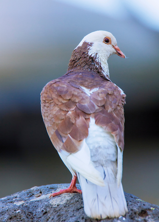 Unidentified pigeon (guessing feral pigeon) - taken in Maui, Hawaii