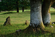 The nature reserve Tunhems Ekhagar is located at the foot of Hunneberg, and consists of a number of ancient oak trees. Tunhems Ekhagar, Schweden | Die Eichen auf den Viehweiden von Tunhem (Schweden) sind weltweit bekannt. Sie beherbergen vom Aussterben bedrohte Tier- und Flechten-Arten. Schon Carl von Linné besuchte 1746 das Gebiet und bezeichnete die Region als Paradies auf Erden.
