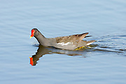 Common Moorhen (Gallinula chloropus) swims in a pond. Photographed in Israel in June