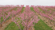Ciles peach orchard.