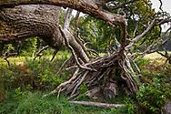branch hut under a fallen tree in the Wahner Heath, Cologne, North Rhine-Westphalia, Germany.<br /> <br /> Asthuette unter einem gefallenenen Baum in der Wahner Heide, Koeln, Nordrhein-Westfalen, Deutschland.