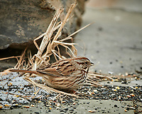 Song Sparrow. Image taken with a Nikon D850 camera and 500 mm f/4 VR telephoto lens (ISO 1250, 500 mm, f/4, 1/500 sec).