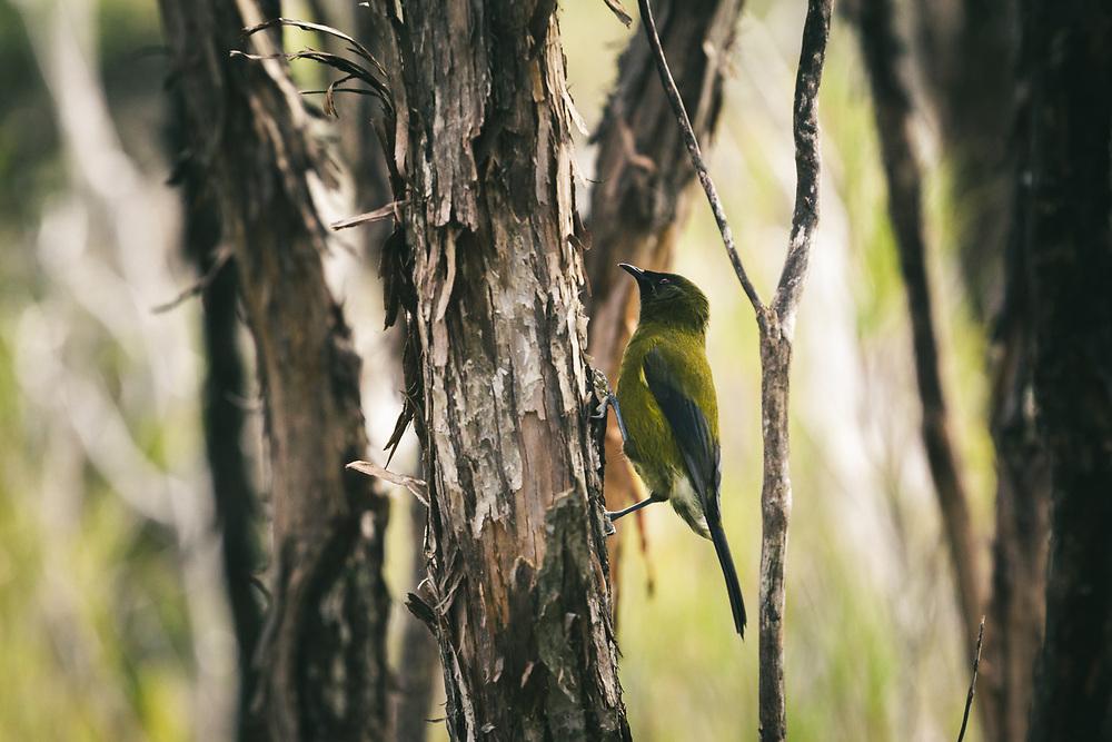 New Zealand bellbird (Anthornis melanura) - one of melodious creatures in bush, The Southern Circuit, Stewart Island / Rakiura, New Zealand Ⓒ Davis Ulands   davisulands.com