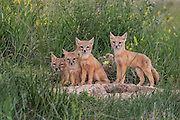 Young Swift Foxes at Den Site