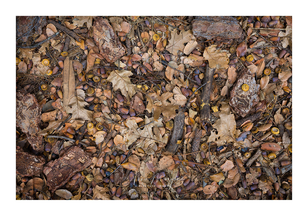 Golden cup acorns and leaves litter the forest floor underneath the great oaks in Yosemite National Park, California