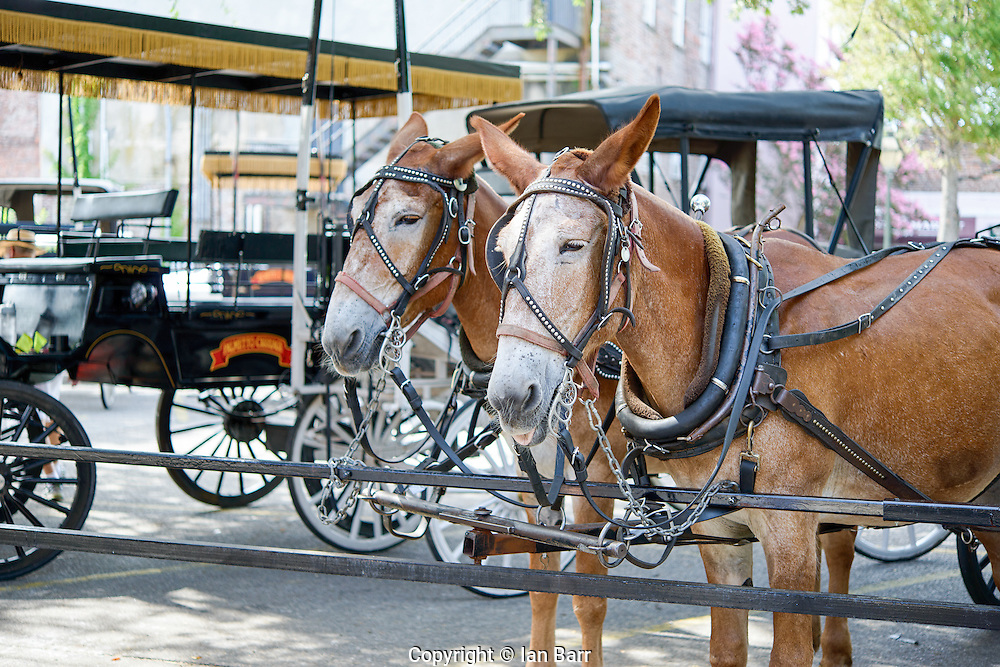 Two Carriage Mules hitched up and waiting in the shade.Charleston, South Carolina, USA.