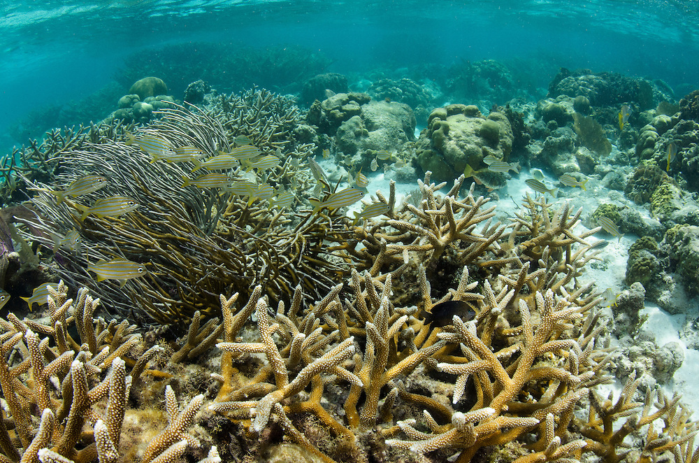Staghorn Coral (Acropora cervicornis) & French Grunt (Haemulon flavolineatum)<br /> Hol Chan Marine Reserve<br /> near Ambergris Caye and Caye Caulker<br /> Belize<br /> Central America