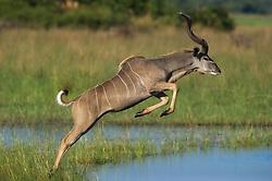 Greater Kudu (Tragelaphus strepsiceros) jumping, Okavango, Botswana