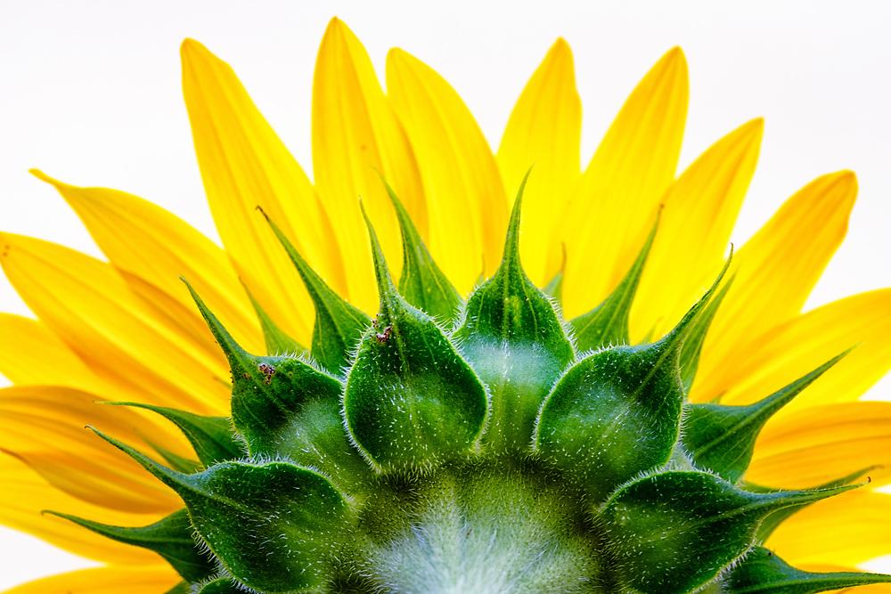 Ann's Sunflower