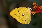 Orange Barred Sulphur Butterfly, Phoebus philea, yellow colour on flower, USA