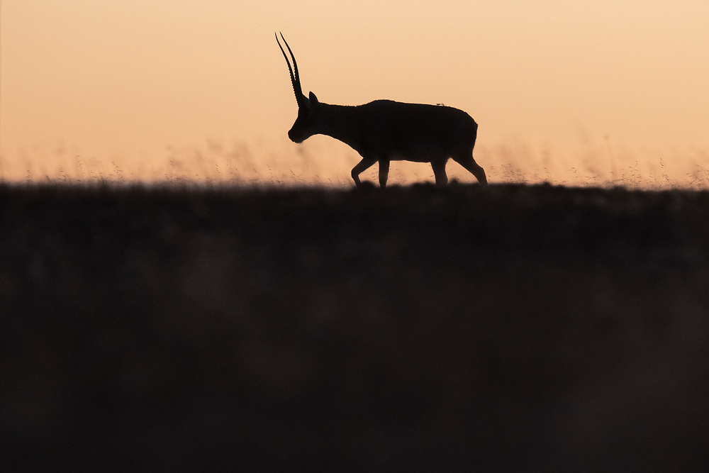 Tibetan antelope or Chiru, Pantholops hodgsonii, Keke Xili / Hoh Xil nature reserve, Tibetan High plateau, Qinghai, China