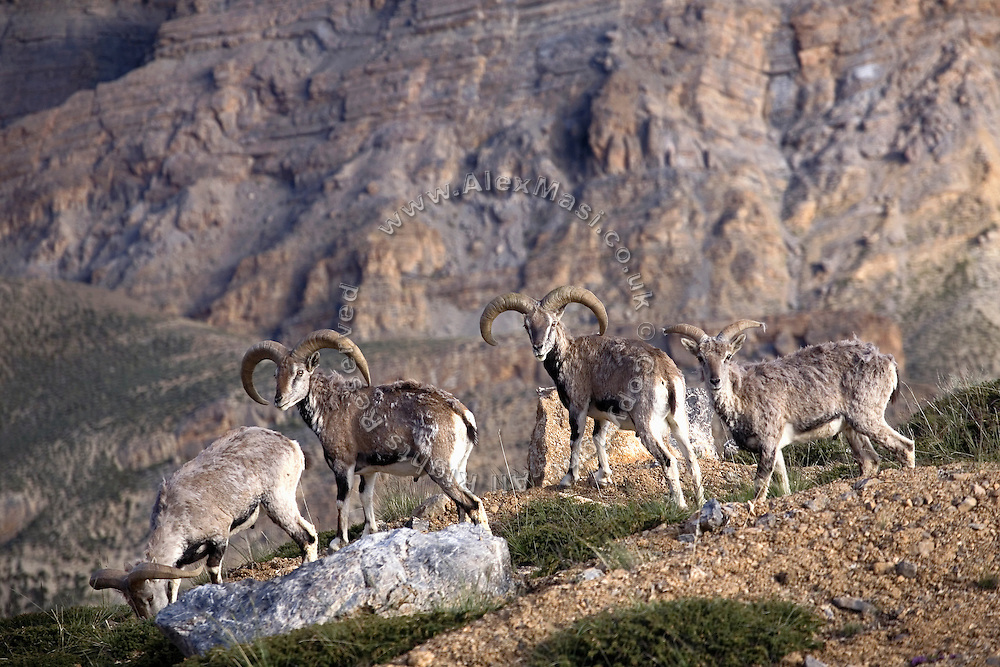 A herd of Bharals (Himalayan blue sheep) along the Leh-Manali Highway.