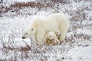 01874-110.03 Polar Bears (Ursus maritimus) female & 2 cubs near Hudson Bay, Churchill  MB, Canada