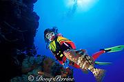 diverand Nassau grouper,<br /> Epinephelus striatus, Hogsty Reef, Bahamas,<br /> ( Western Atlantic Ocean )  MR 161