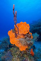 Orange Elephant Ear Sponge, Agelas clathrodes, Rope Sponge, Family: Demospongiae, and Sea Plumes, Family: Gorgoniidae, West End, Grand Bahamas, Atlantic Ocean