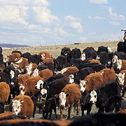 Ranching, hired hands rounding up cattle with calves for spring branding and vaccinating. Montana.