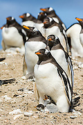 Gentoo Penguin (Pygoscelis papua), Sealion Island, Falkland Islands, South Atlantic Ocean