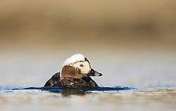 Long-tailed Duck (Clangula hyemalis) in Spitsbergen, Svalbard