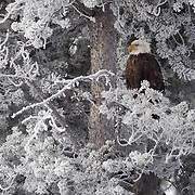 Bald eagle (Haliaeetus leucocephalus) adult in a frosty tree. Firehole River, Yellowstone National Park, Wyoming