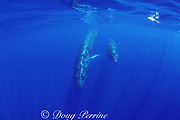 sei whale mother and calf, Balaenoptera borealis, Azores Islands, Portugal ( North Atlantic Ocean )