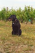 Vineyard dog. Chateau des Vaults, Domaine du Closel, Savennieres, Loire, France