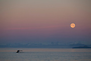 Humpback Whale at sunrise with full moon, Tongass National Forest, Alaska.