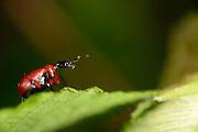 [captive] Hazel Leaf-roller Weevil (Apoderus coryli) | Haselblattroller (Apoderus coryli) Familie der Dickkopfrüssler (Attelabidae)