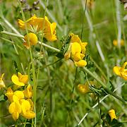 Birdsfoot Trefoil, Lotus corniculatus