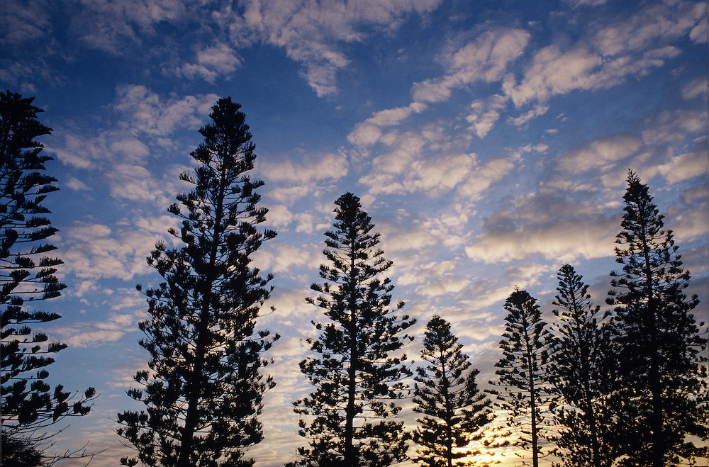 Hawaii, Molokai, Mauna Loa pines trees, sunset