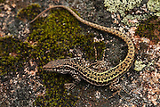 Iberian Wall Lizard (Podarcis hispanica)<br /> Sierra de Andújar Natural Park, Mediterranean woodland of Sierra Morena, north east Jaén Province, Andalusia. SPAIN<br /> RANGE: Iberia & west Mediterranean France.<br /> Mission: Iberian Lynx, May 2009<br /> © Pete Oxford / Wild Wonders of Europe<br /> Zaldumbide #506 y Toledo<br /> La Floresta, Quito. ECUADOR<br /> South America<br /> Tel: 593-2-2226958<br /> e-mail: pete@peteoxford.com<br /> www.peteoxford.com