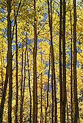 Aspen trees in autumn color<br /> Banff National Park<br /> Alberta<br /> Canada