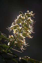 Backlit Texas Buckeye Tree (Aesculus glabra var. arguta) in flower, Texas Buckeye Trail, Great Trinity Forest, Dallas, Texas, USA.