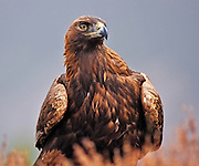 A Golden Eagle is sitting in the heather in the Cairngorms National Park in the Scottish Highlands