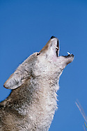 Coyote howling, portrait, blue sky background  [captive, controlled conditions]