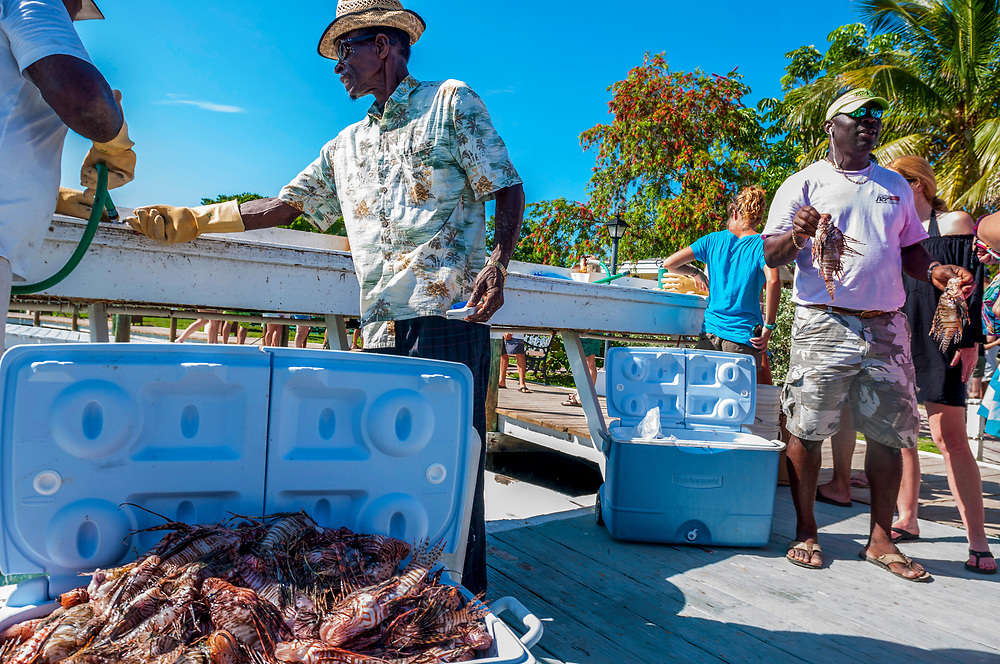 One team caught 466 lionfish in a single day during the Green Turtle Cay, Bahamas lionfish Derby in June of 2016. Lionfish (Pterois volitans) are an invasive species in the Atlantic ocean and spear fishing tournaments like this help the reefs and raise awareness about the issue.