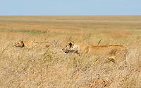 A female Lion, Panthera leo melanochaita, with one cub in Serengeti National Park, Tanzania