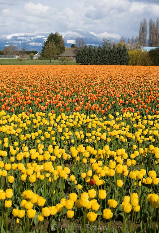 Tulip fields in spring, Washington state