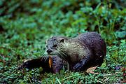 River Otter on bank - Mississippi.