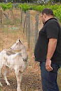 Pierre Quinonero Domaine de la Garance. Pezenas region. Languedoc. A goat that also contributes to fertilizing the vineyards. Owner winemaker. France. Europe.