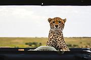 A cheetah (Acinonyx jubatus) that has climbed on a vehicle looking inside the vehicle, Masai Mara, Kenya
