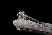 moth (Xestia speciosa) | Bergwald-Bodeneule (Xestia speciosa); Die Bergwald-Bodeneule bewohnt vorzugsweise Misch- und Nadelwälder mit Heidelbeerbewuchs sowie Hochmoore.