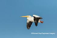 00671-01109 American White Pelican (Pelecanus erythrorhynchos) in flight Clinton Co.  IL
