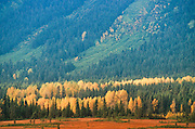 Alaska. Girdwood. Moose Meadows in autumn color. Cottonwood Trees and Spruce along Glacier Creek in the Chugach Mountains.
